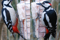 Spotted Woodpecker in Western Bohemia, Europe