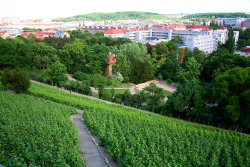 Staronová vinice na Grébovce v Praze.