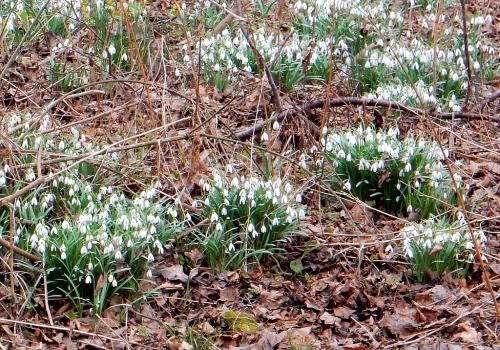 Sněženky kvetou u Botiče pod Průhonicemi.